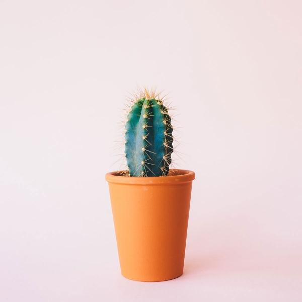 Cactus Houseplants