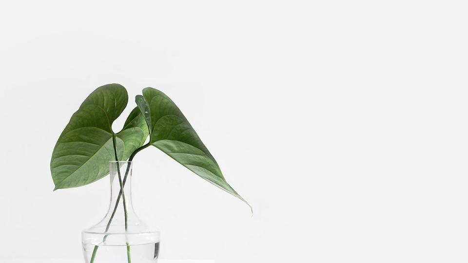 Monstera Green Leaves